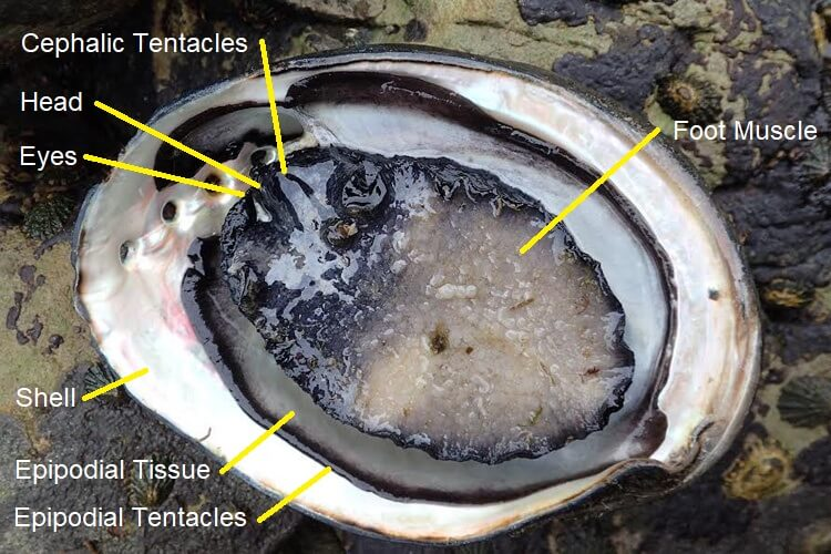 black-abalone-in-singapore-1